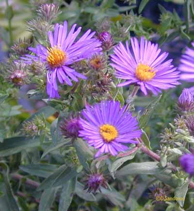 The conservation foundation new england aster symphyotrichum novae angliae is a beautiful bright purple flowering plant with an orange yellow center reaching 4 6 tall mightylinksfo