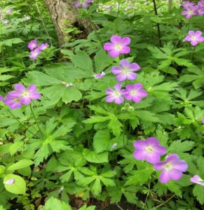 wild geraniums picture